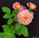 Rosen vor schwarzem Karton