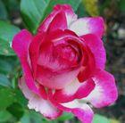 Rosen werden blühen