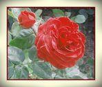 Rosen . . . zum Sonntag