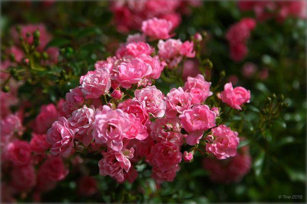 Rosen zum WE