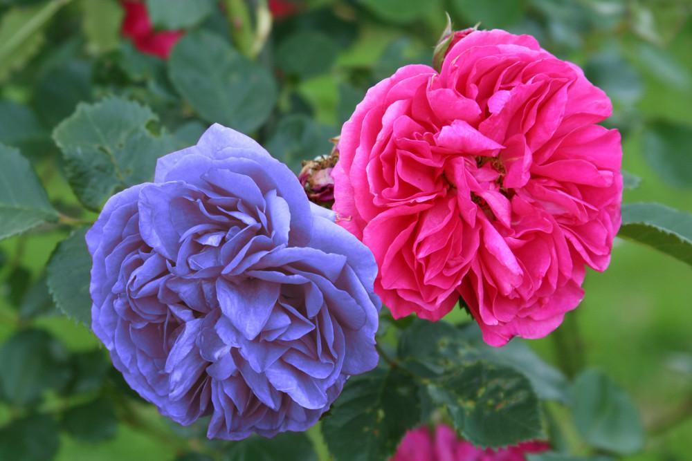 Rosen - Zweifarbig