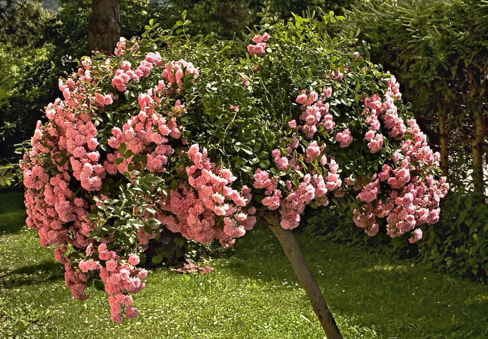 Rosenb Umchen Foto Bild Pflanzen Pilze Flechten