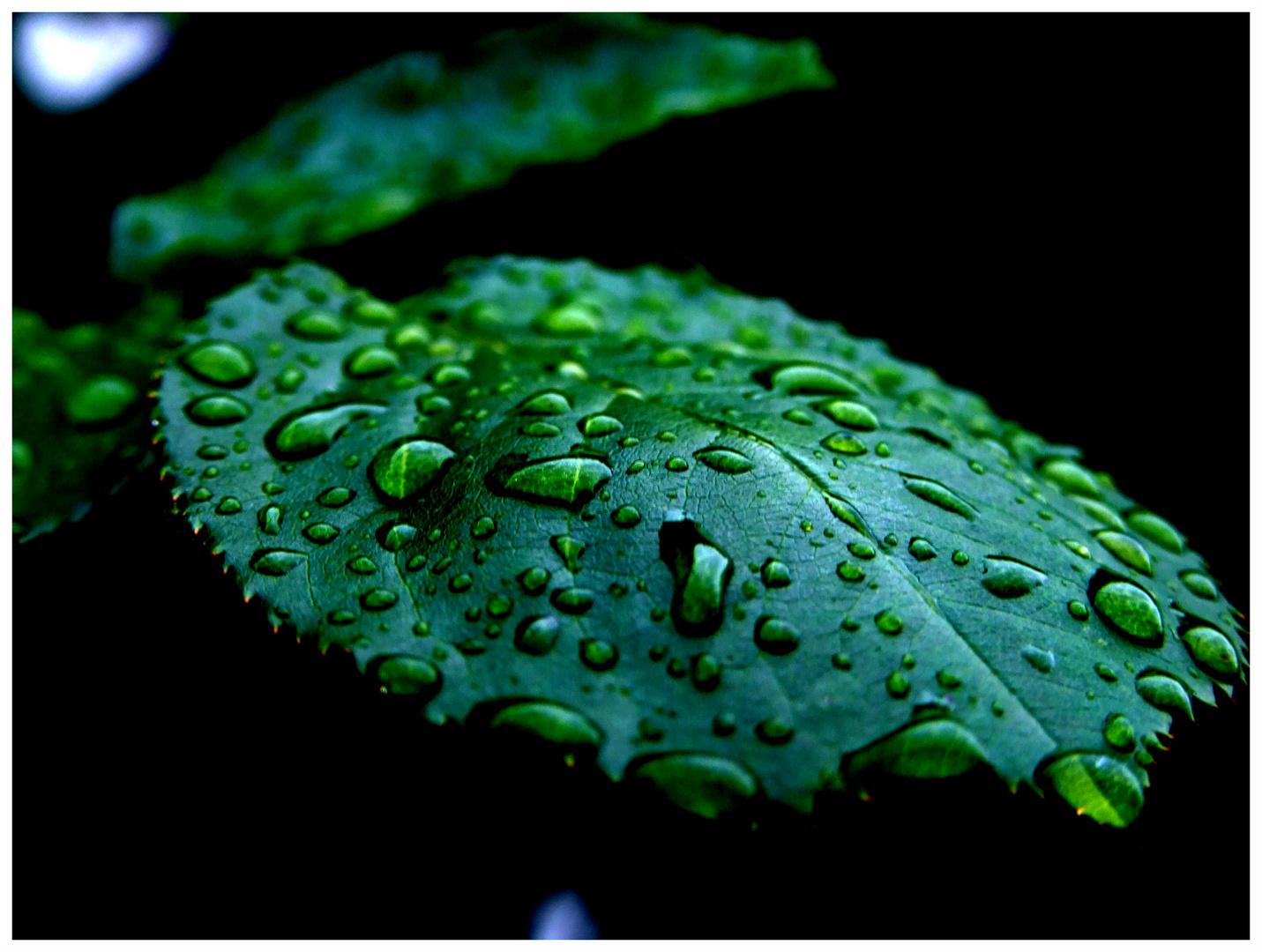 Rosenblatt im Regen