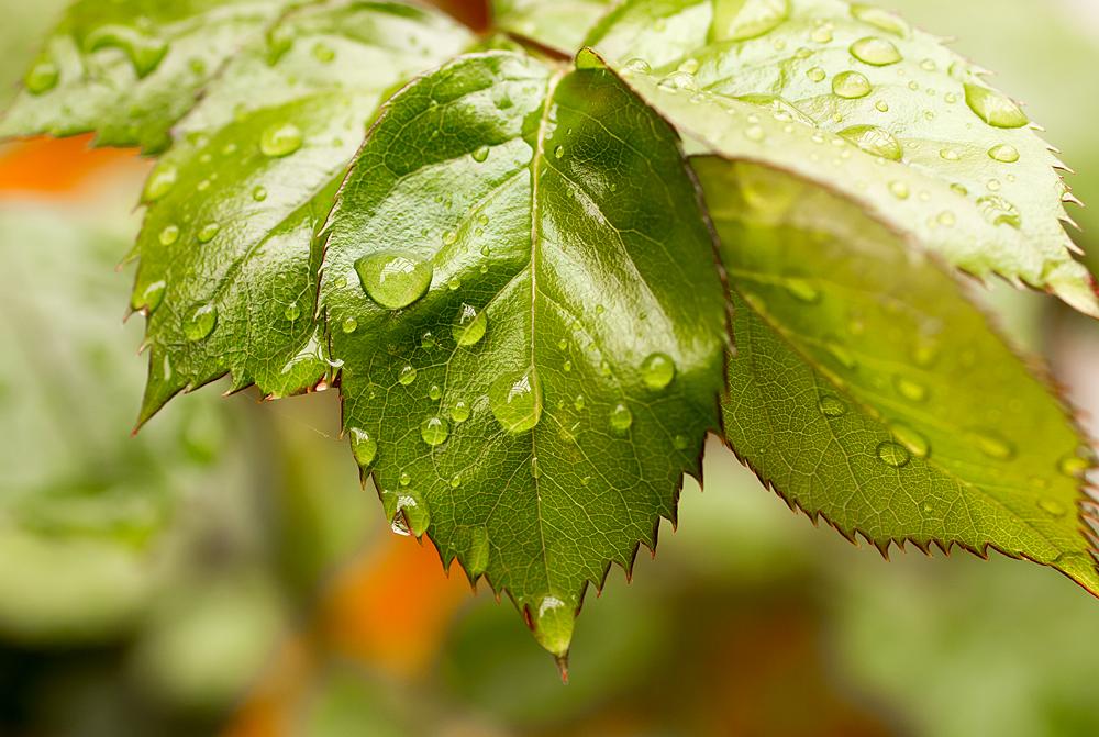 Rosenblatt mit Regen- Tropfen