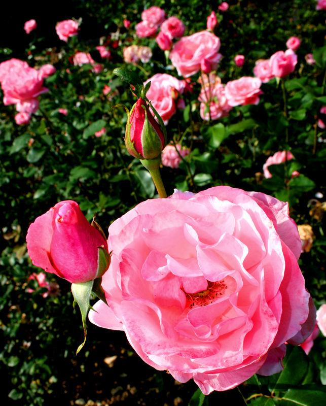 Rosenblümchenmeer