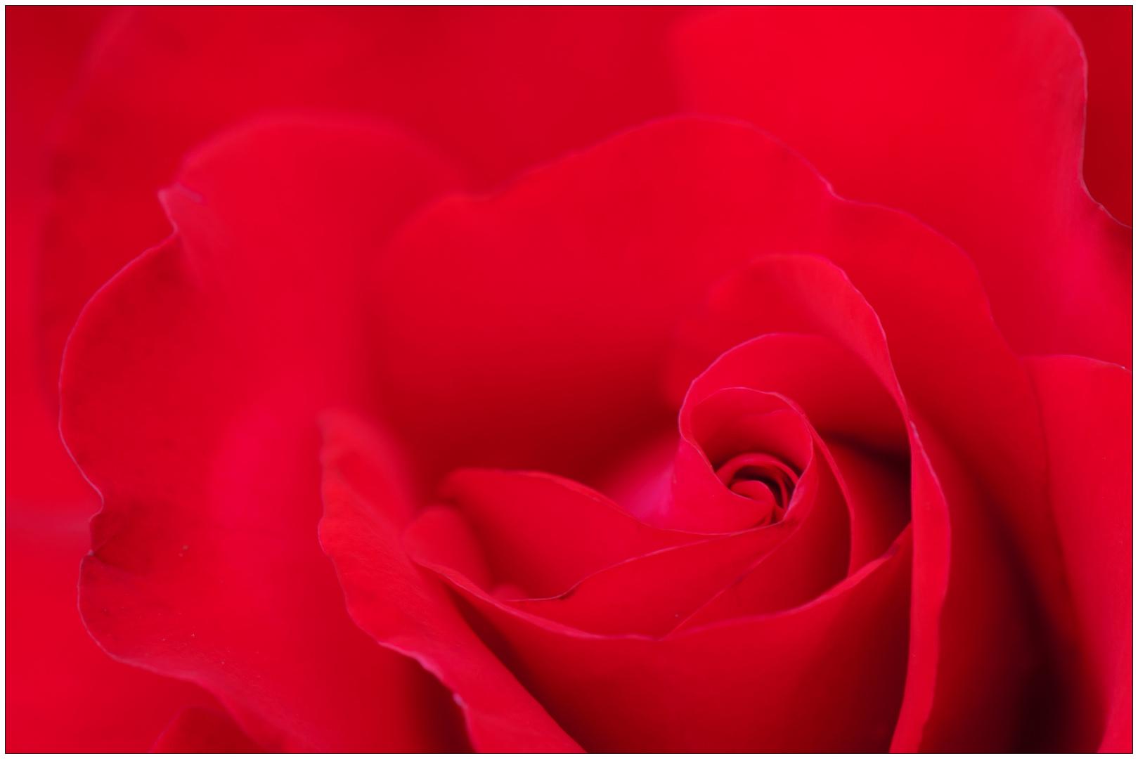 Rosenblüte auch ganz nah !