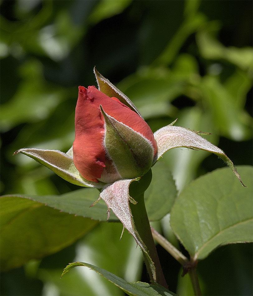 ....Rosenblüte....