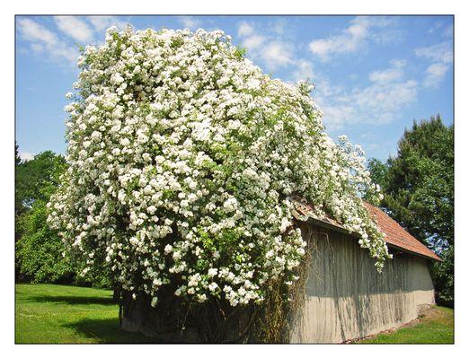 Rosenblüte im Mai