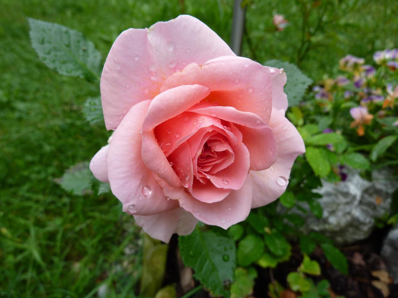 Rosenblüte im Morgentau