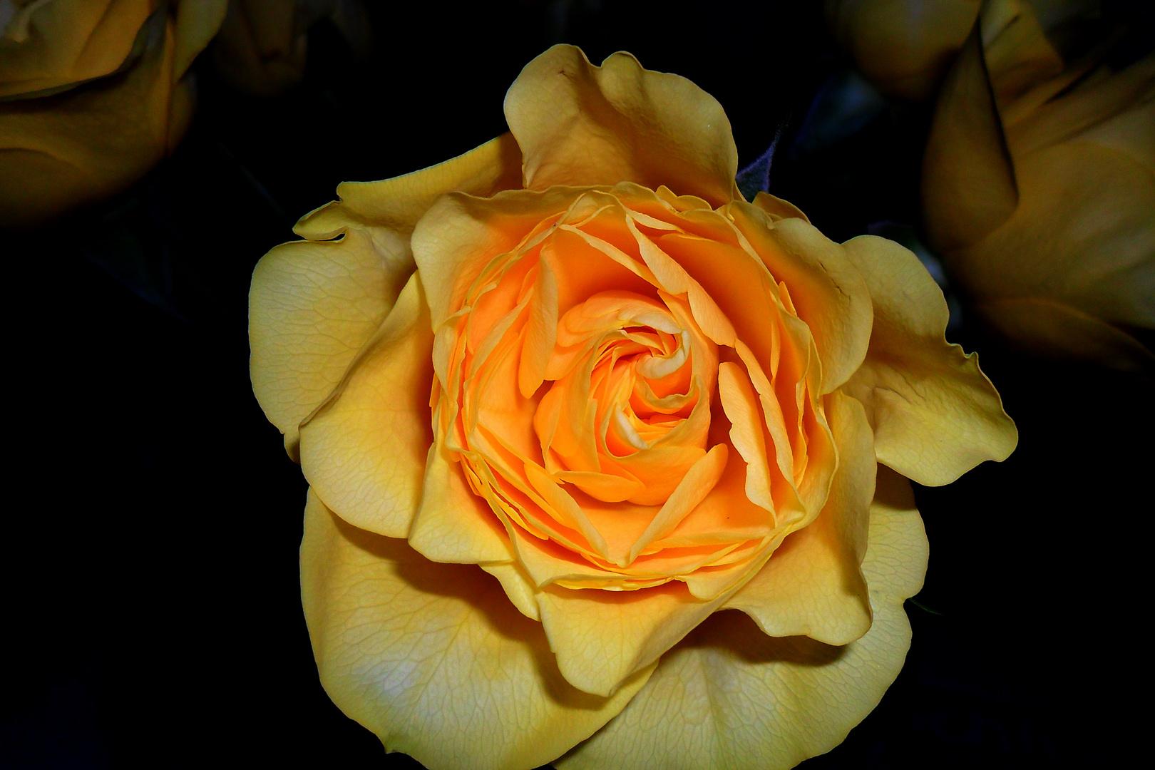 Rosenblüte in der Vase