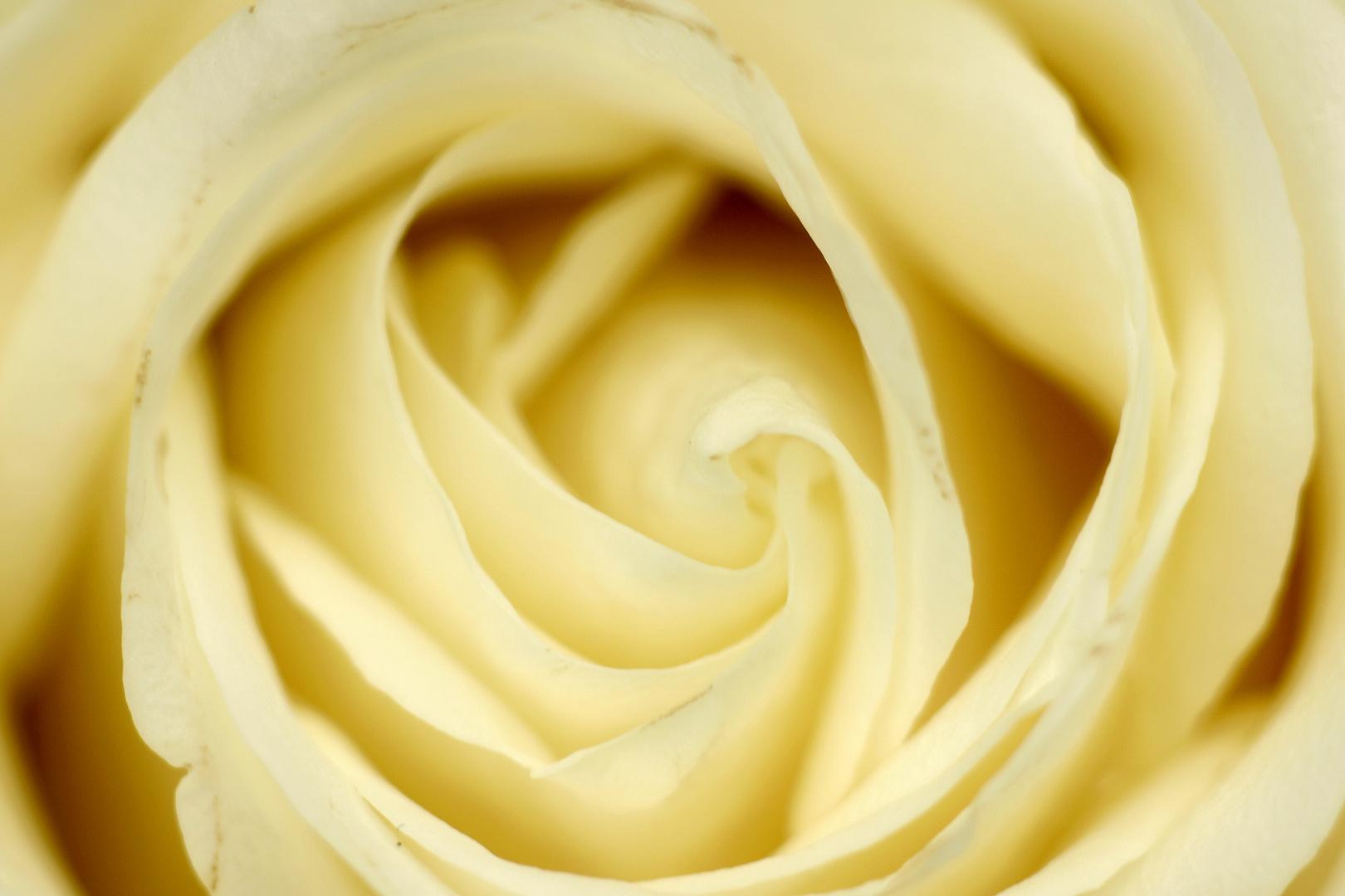 Rosenblüte / Macro