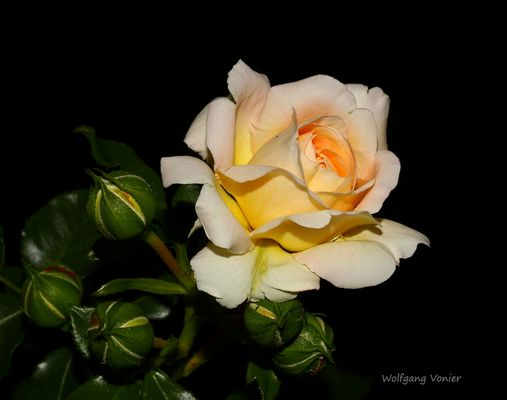 Rosenblüte mit Knospen