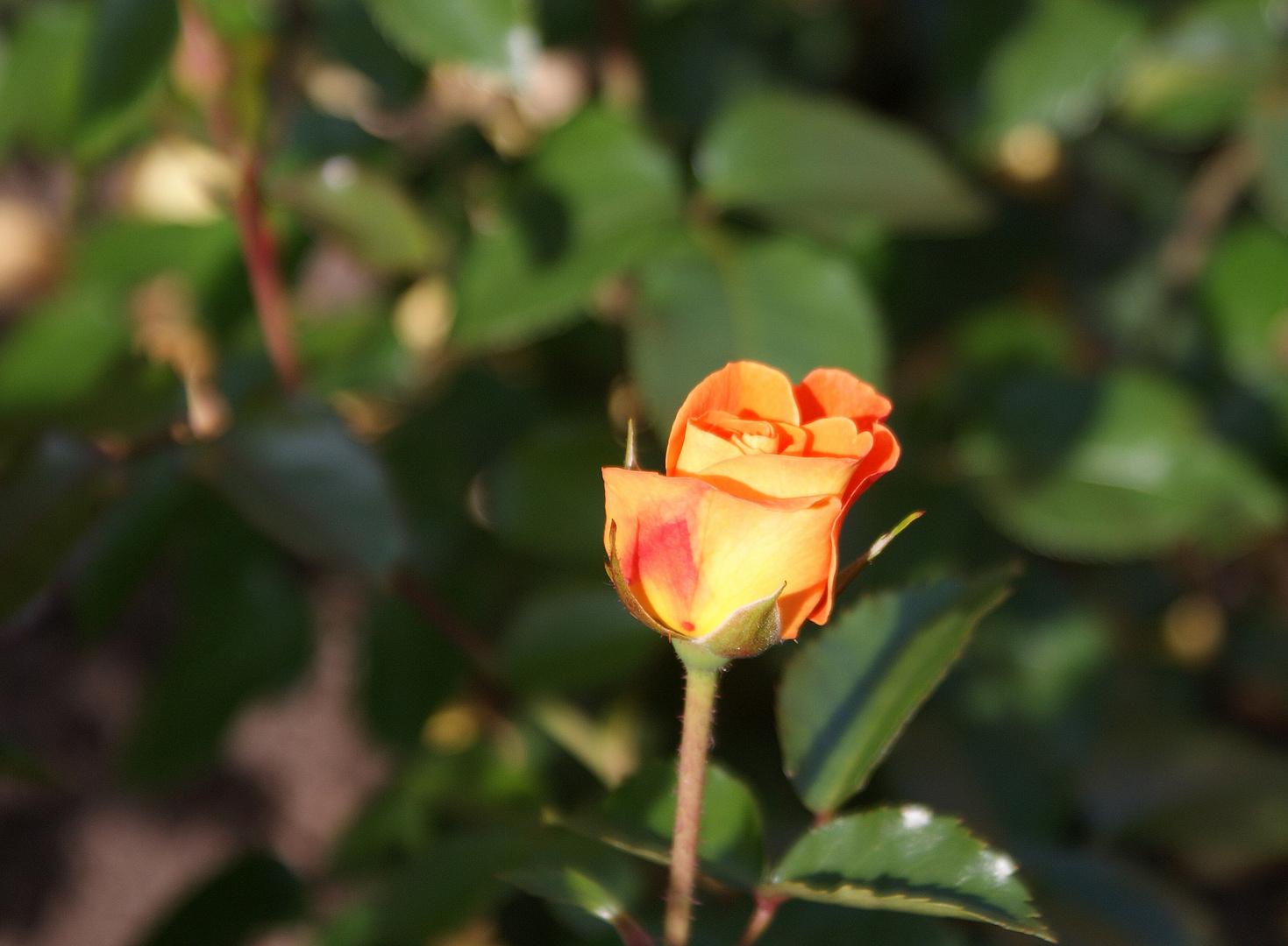 Rosenblüte mit Stil
