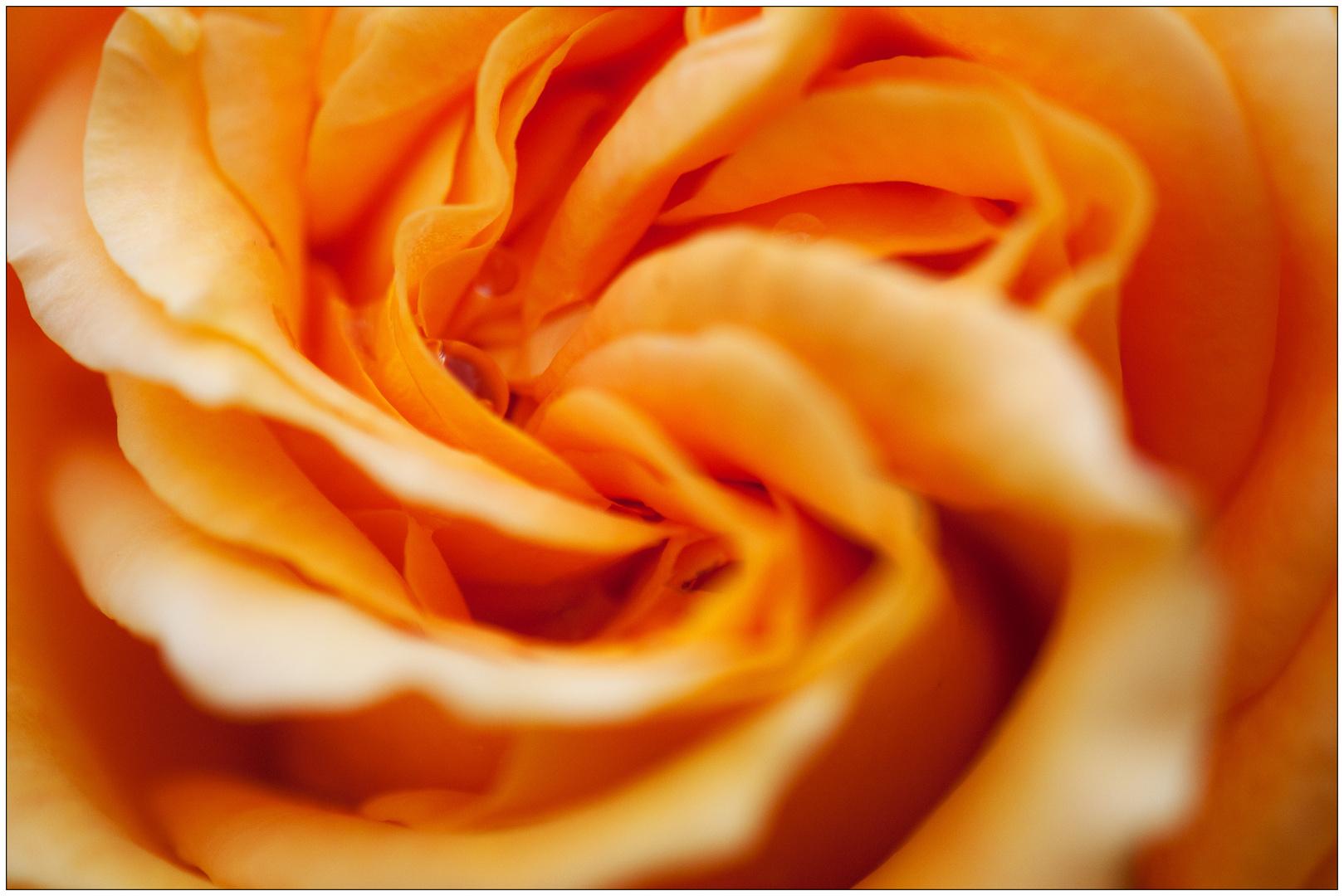 Rosenblüte mit Wassertropfen
