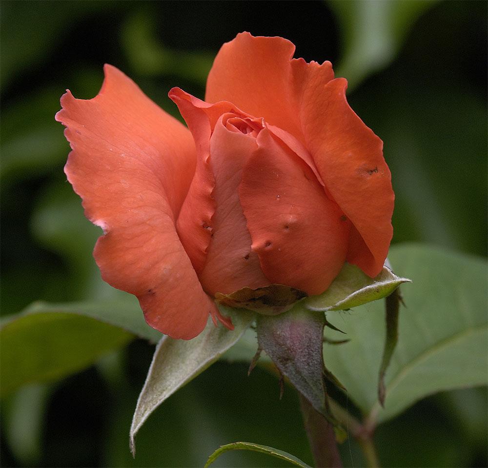 Rosenblüte....dritter Tag