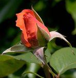 Rosenblüte....ein Tag später