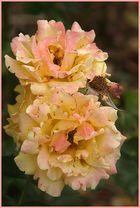 Rosenblüten...