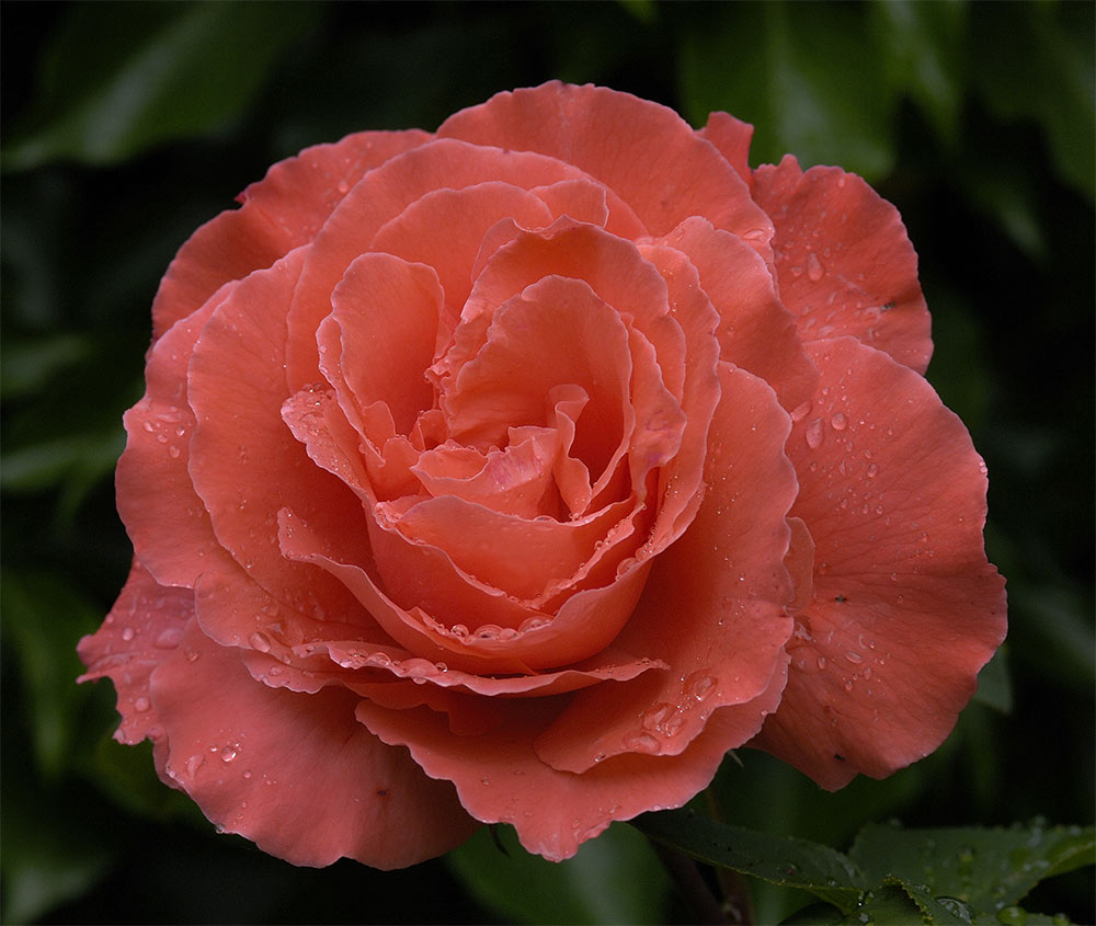 Rosenblüte........sechster Tag