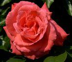 Rosenblüte......siebte Tag