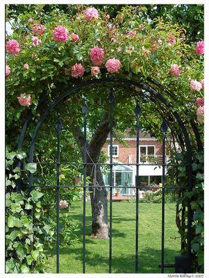 Rosenbogen in unserer Efeu-Gartenhecke