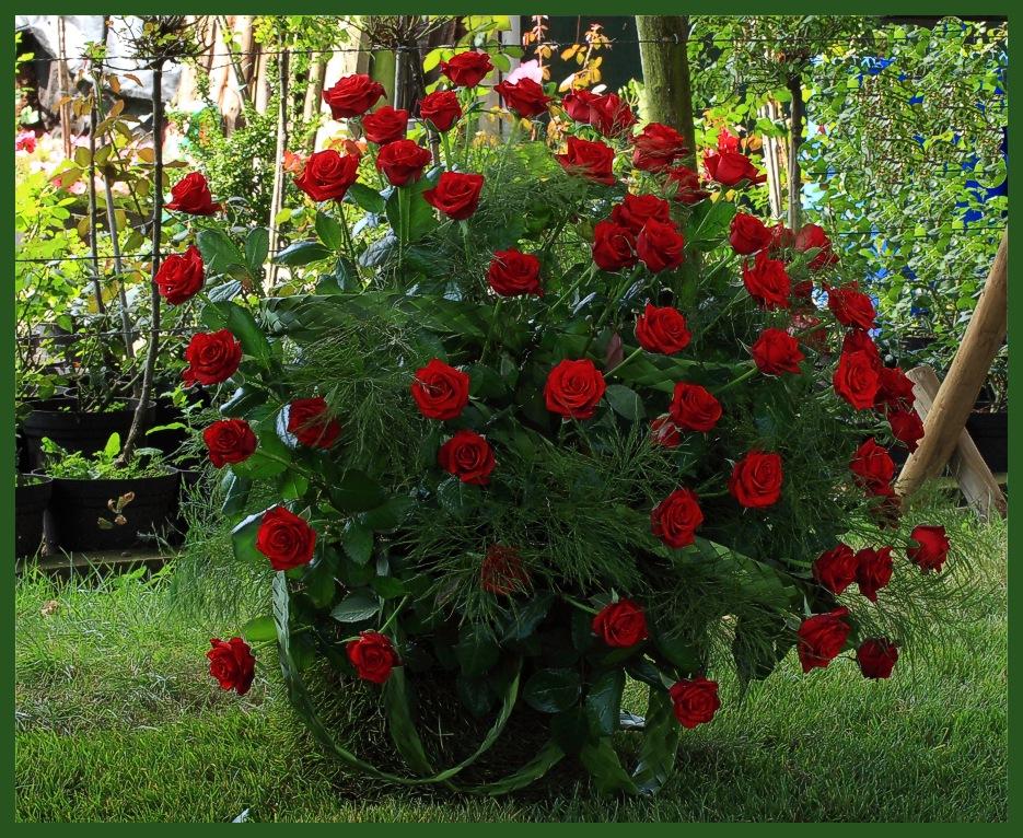 rosenfestival in lottum nl 5 foto bild pflanzen pilze flechten bl ten. Black Bedroom Furniture Sets. Home Design Ideas