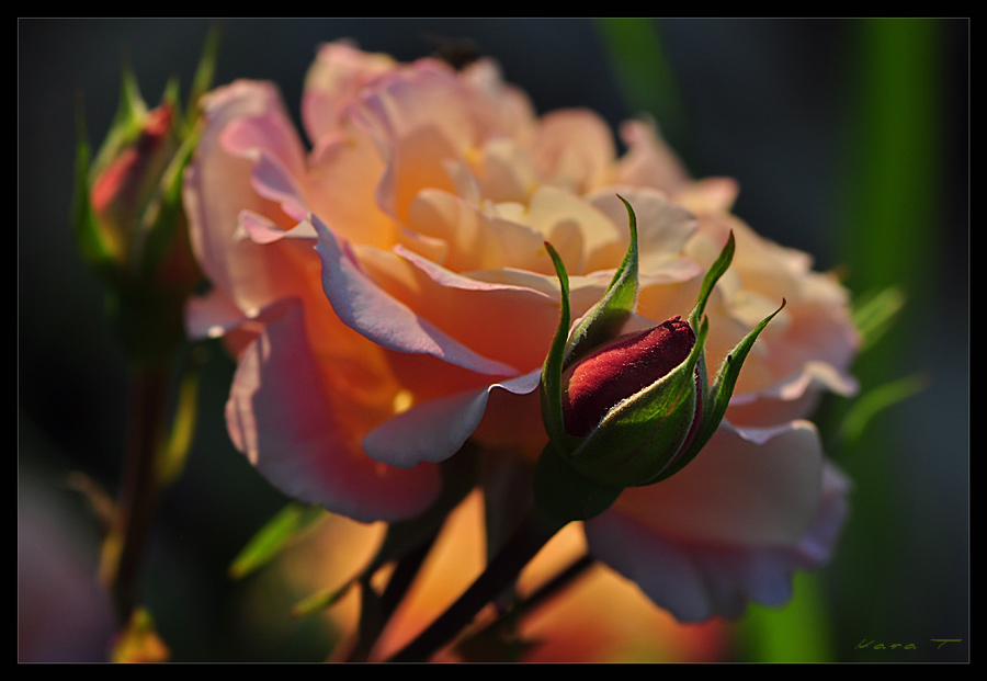 Rosenfeuer