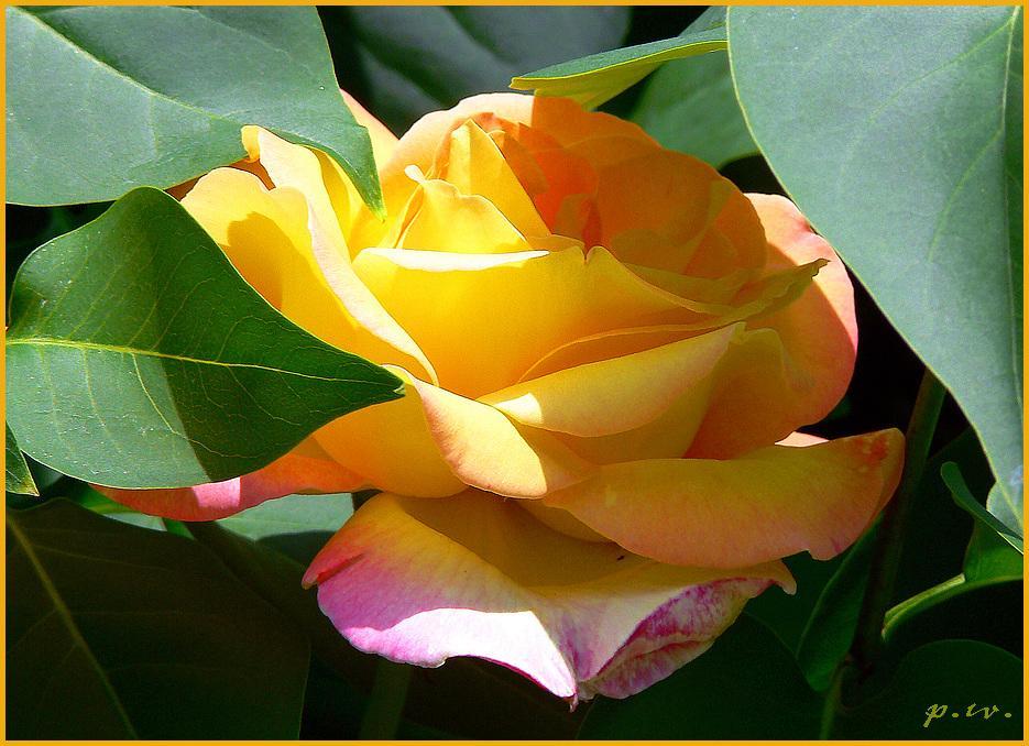 Rosenflieder oder Fliederrose
