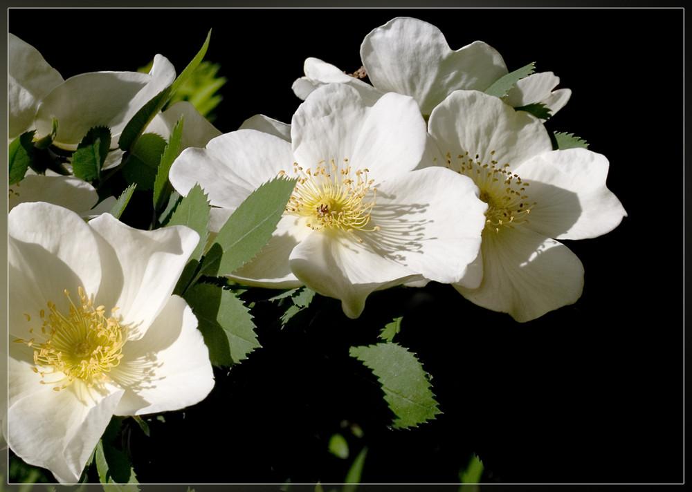 Rosenfrühling...