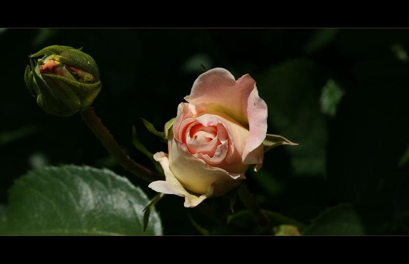 :: rosengarten ::
