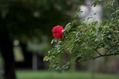 Rosengarten im Fürther Stadtpark (4)