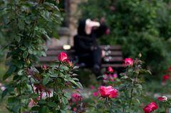 Rosengarten im Fürther Stadtpark (5)