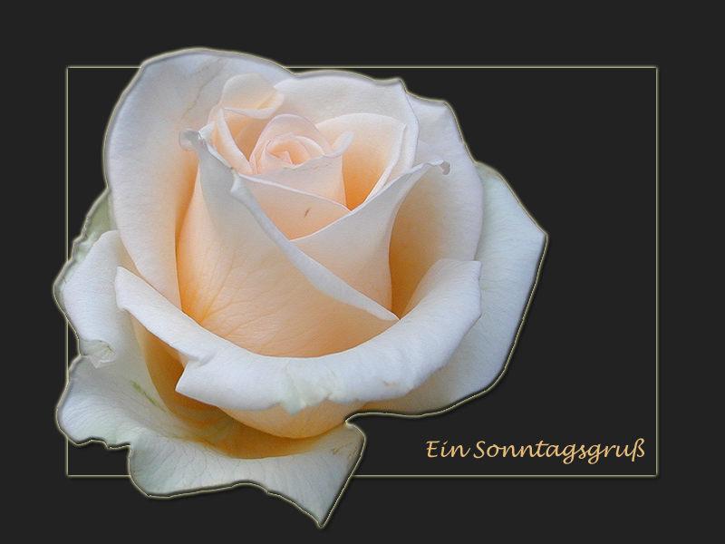 Rosengrüße...