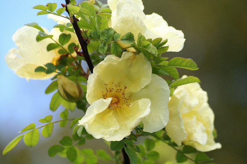 Rosengrüsse