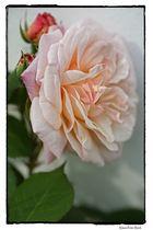 Rosengrüße zum Mittwoch