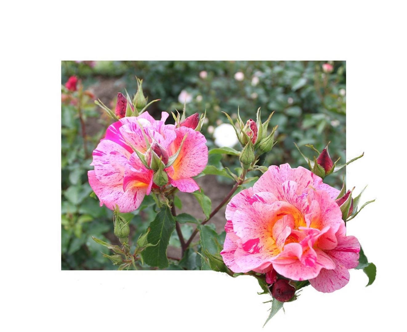 Rosengruß
