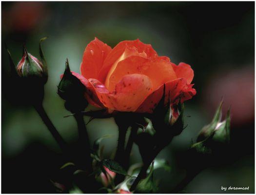 Rosengruß zum Sonntag