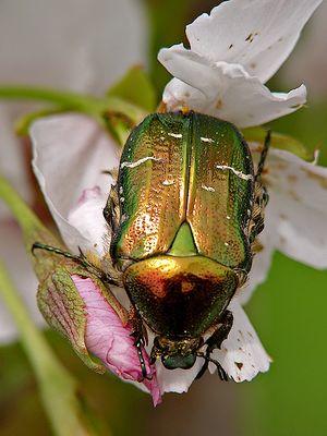 Rosenkäfer (cetonia aurata)