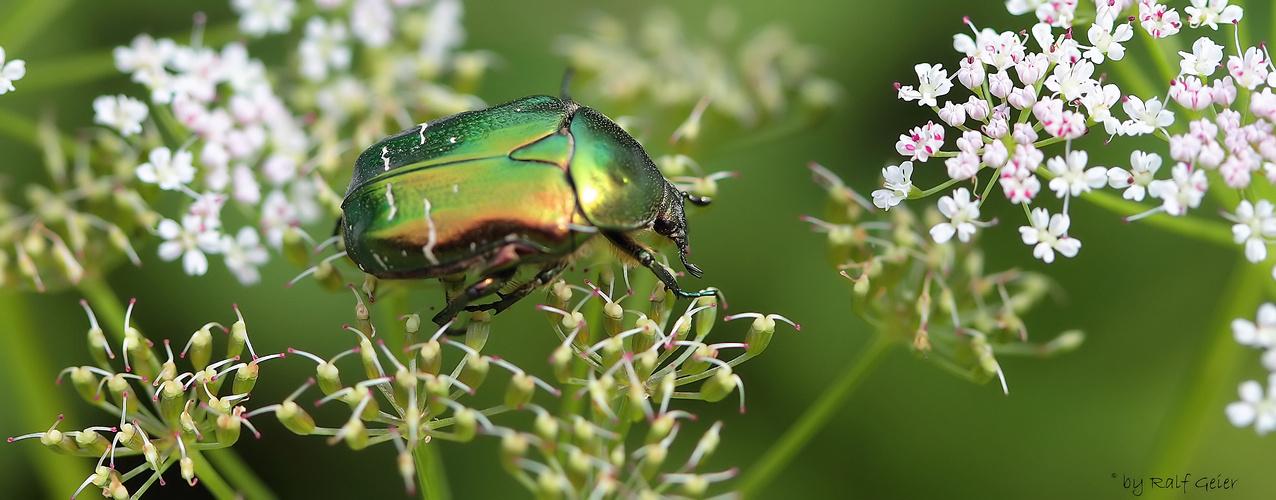 Rosenkäfer (Cetoniinae) Serie