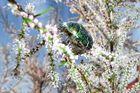 Rosenkäfer in Frühlingstamariske