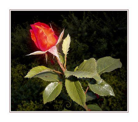 Rosenknospe . . . . . . . . bouton de rose
