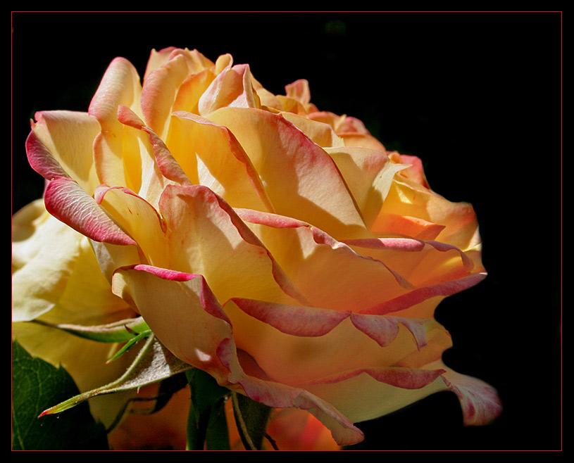 Rosenleuchten