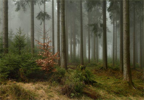 Rosenmontagsfichtennebelwald