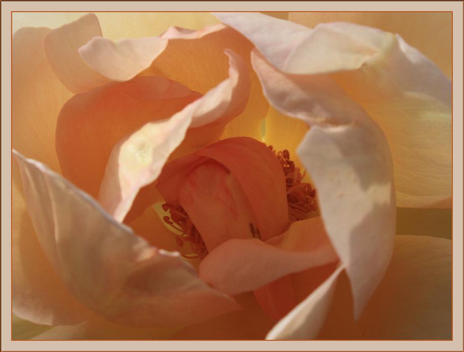 rosenmuschel
