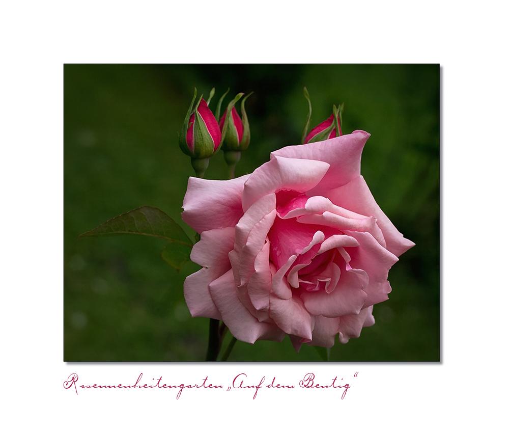Rosenneuheitengarten Auf dem Beutig...