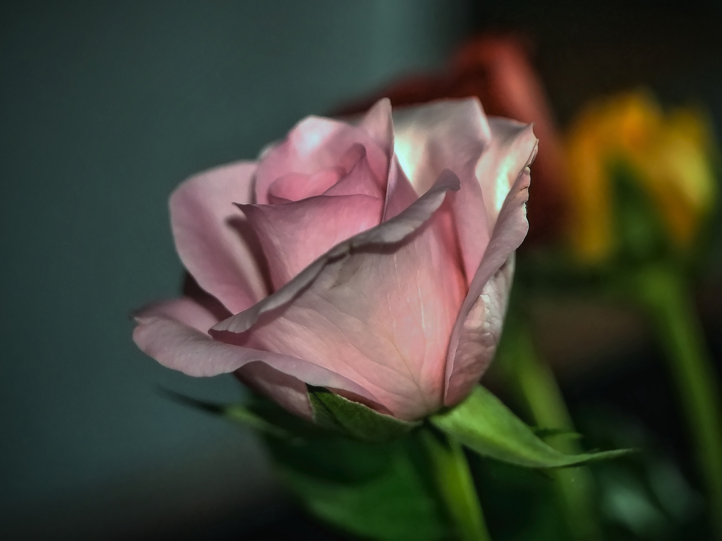 Rosenportrait einer rosaroten Rose
