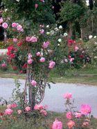 Rosenpracht im Donaupark