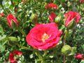DE: rosenrot by Andrea Kössler