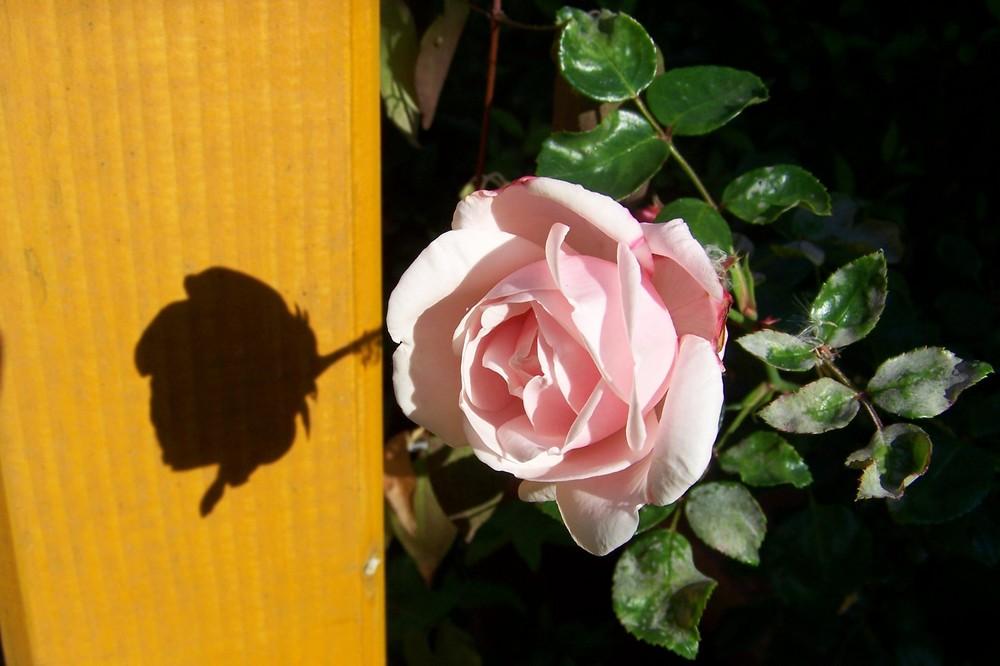 Rosenschatten