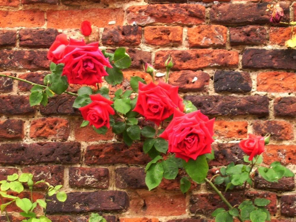 Rosenstrauch im Schlossgarten von Hampton Court Palace