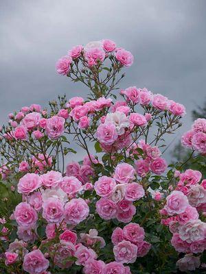 Rosenstrauch vor Gewitterhimmel